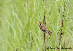 Black-breasted parrotbill.jpg