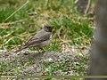 Black-throated Thrush (Turdus atrogularis) (38254031172).jpg