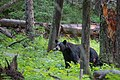 Black bear near Blacktail Plateau Drive (5dc2e7e4-cd82-462d-8941-50eaead1cb94).jpg