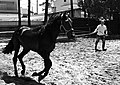 Black horse training (9334168815).jpg