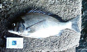 Acanthopagrus schlegelii - Image: Black seabream(side