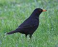 Blackbird in Madrid (Spain) 03.jpg