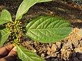 Blepharistemma serratum at Periya (13).jpg