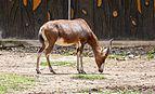 Blesbok (Damaliscus pygargus phillipsi), Zoo de Ciudad Ho Chi Minh, Vietnam, 2013-08-14, DD 01.JPG