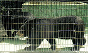 Captive black bears at a zoo in Florida