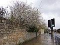 Blossom alongside Station Road, Tadcaster (geograph 5729980).jpg