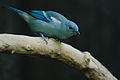 Blue-Grey Tanager.jpg