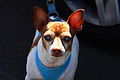 Blue-eyed chihuahua (4264652822).jpg