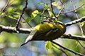 Blue-winged Warbler (male) Sabine Woods TX 2018-04-22 14-35-40 (41273179404).jpg