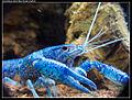 Blue Florida Crayfish.jpg