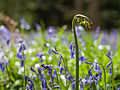 Bluebell wood (14020898014).jpg