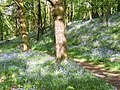 Bluebell wood near Seathwaite - geograph.org.uk - 541302.jpg
