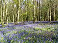 Bluebells (Hyacinthoides non-scripta), Box Wood, Walkern (27670882876).jpg