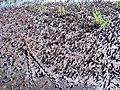 Boardwalk anchor & chain in mud bank (7909235858).jpg