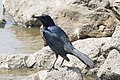 Boat-tailed Grackle Anahuac NWR High Island TX 2018-03-26 10-33-57 (39230248270).jpg