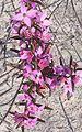 Boronia ledifolia Ku-ring-gai Chase NP.JPG