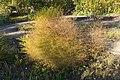 Botanischer Garten Berlin-Dahlem 10-2014 photo20 Asparagus maritimus.jpg