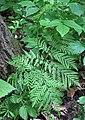 Botrypus virginianus (rattlesnake fern) (Natural Bridge State Park, northeast of Leland, Wisconsin, USA) 5 (19071540836).jpg
