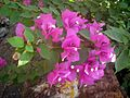 Bougainvillea flower 5.JPG