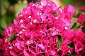 Bougainvillea flowers 4102.JPG