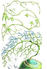 <i>Bowiea</i> genus of plants