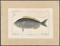 Box salpa - 1700-1880 - Print - Iconographia Zoologica - Special Collections University of Amsterdam - UBA01 IZ13100011.tif