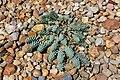 Boxberg Nochten - Findlingspark - Euphorbia myrsinites 01 ies.jpg