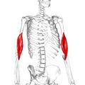 Brachialis muscle02.png