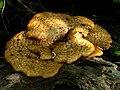 Bracket Fungus, Stevenston Burn - geograph.org.uk - 822710.jpg