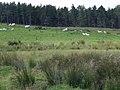 Braemore farm sheep - geograph.org.uk - 525992.jpg