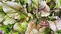 Brassica juncea.jpg