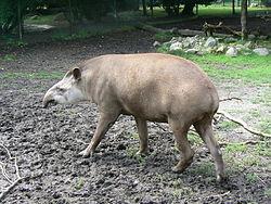 Brazilian tapir zoo.JPG