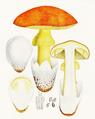 Bresadola - Amanita caesarea.png