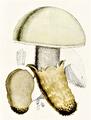 Bresadola - Amanita ovoidea.png