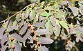 Breynia cernua in fruit.jpg