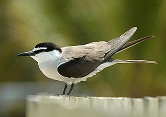 Bridled tern - Adult on Lady Elliot Island, Australia