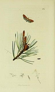 <i>Blastesthia turionella</i> Species of moth