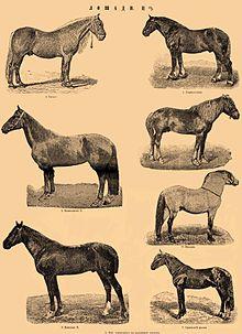 Rasy Konia Wikipedia Wolna Encyklopedia