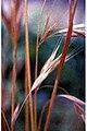 Bromus carinatus 1zz.jpg