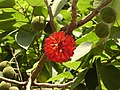 Broussonetia papyrifera-fruits.jpg