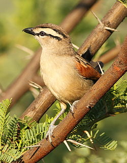 Brown-crowned Tchagra, Tchagra australis at Pilanesberg National Park, Northwest Province, South Africa (17408183966).jpg