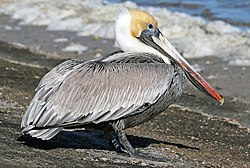 Brown Pelican21K.jpg