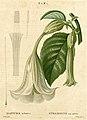 Brugmansia suaveolens.jpg