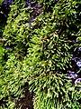 Bryophyta plant in Bandung.jpg