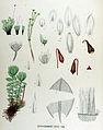 Bryum neodamense — Flora Batava — Volume v17.jpg