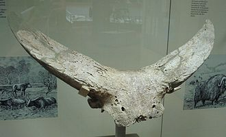 Bubalus - Bubalus murrensis horns
