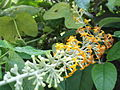 Buddleja madagascariensis-2-yercaud-salem-India.JPG