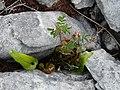 Burren Flora 08 Harts Tongue Fern (3585291101).jpg