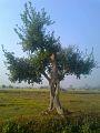 Bush Tree of Terai Nepal.jpg