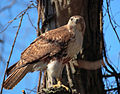 Buteo jamaicensis -John Heinz National Wildlife Refuge at Tinicum, Pennsylvania, USA-8.jpg